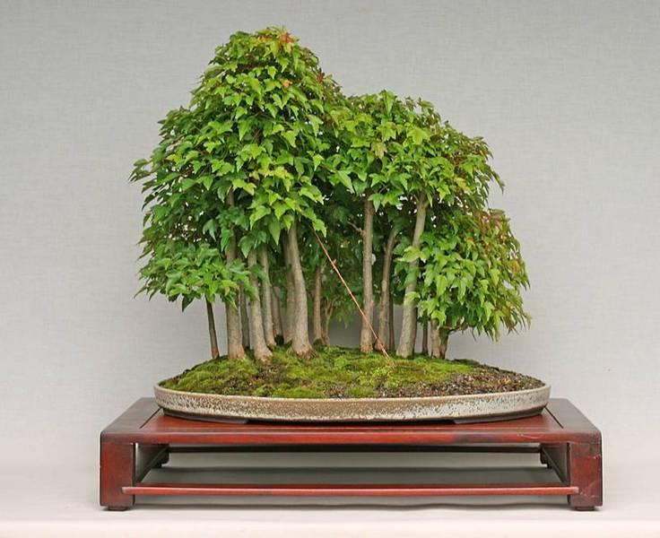 ber bonsai baumform pflege f r bonsai und gartenbonsai. Black Bedroom Furniture Sets. Home Design Ideas